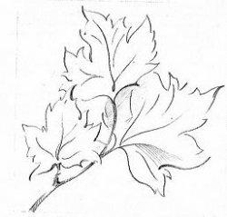 Зарисовки листьев разных растений